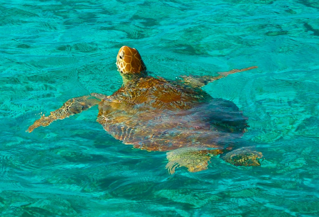 Tobago Turtle